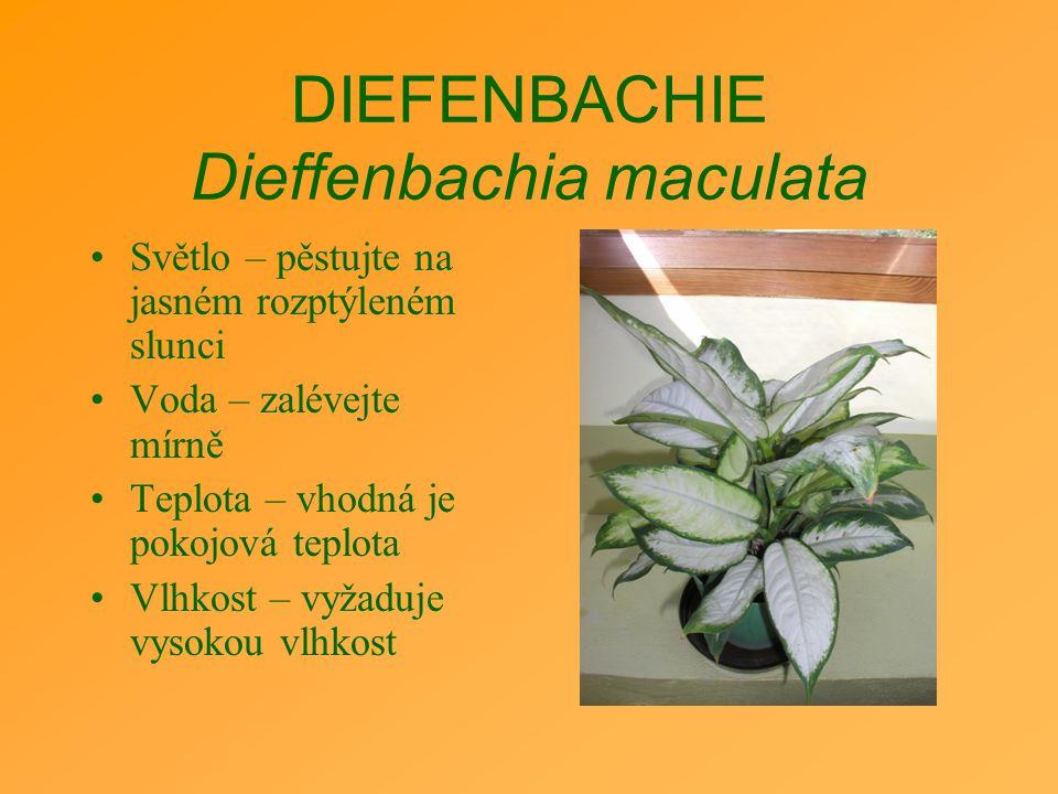 DIEFENBACHIE Dieffenbachia maculata