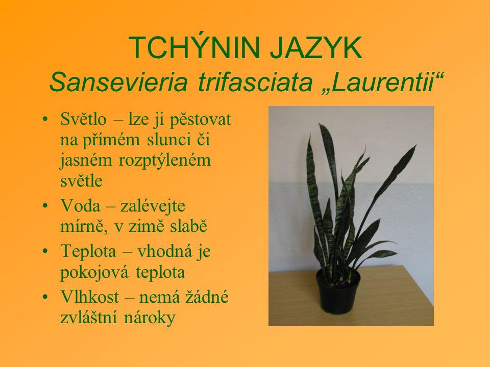 "TCHÝNIN JAZYK Sansevieria trifasciata ""Laurentii"