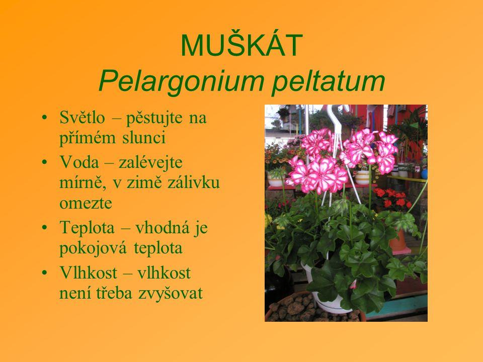MUŠKÁT Pelargonium peltatum