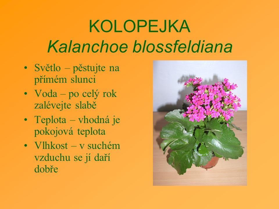 KOLOPEJKA Kalanchoe blossfeldiana