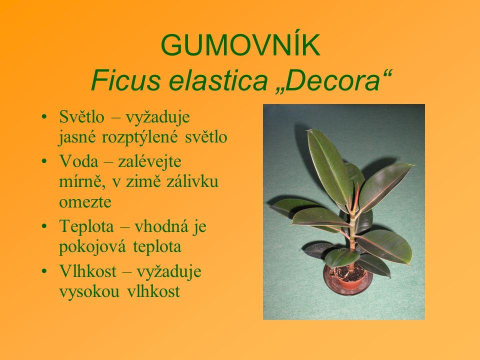 """GUMOVNÍK Ficus elastica """"Decora"""