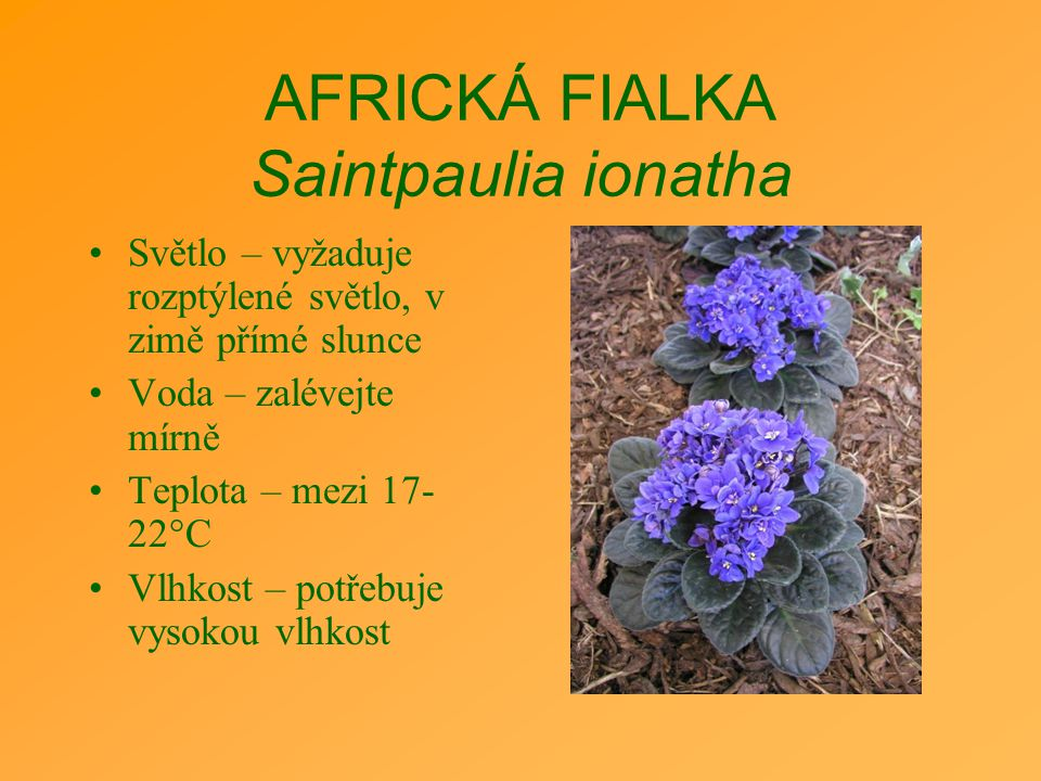 AFRICKÁ FIALKA Saintpaulia ionatha