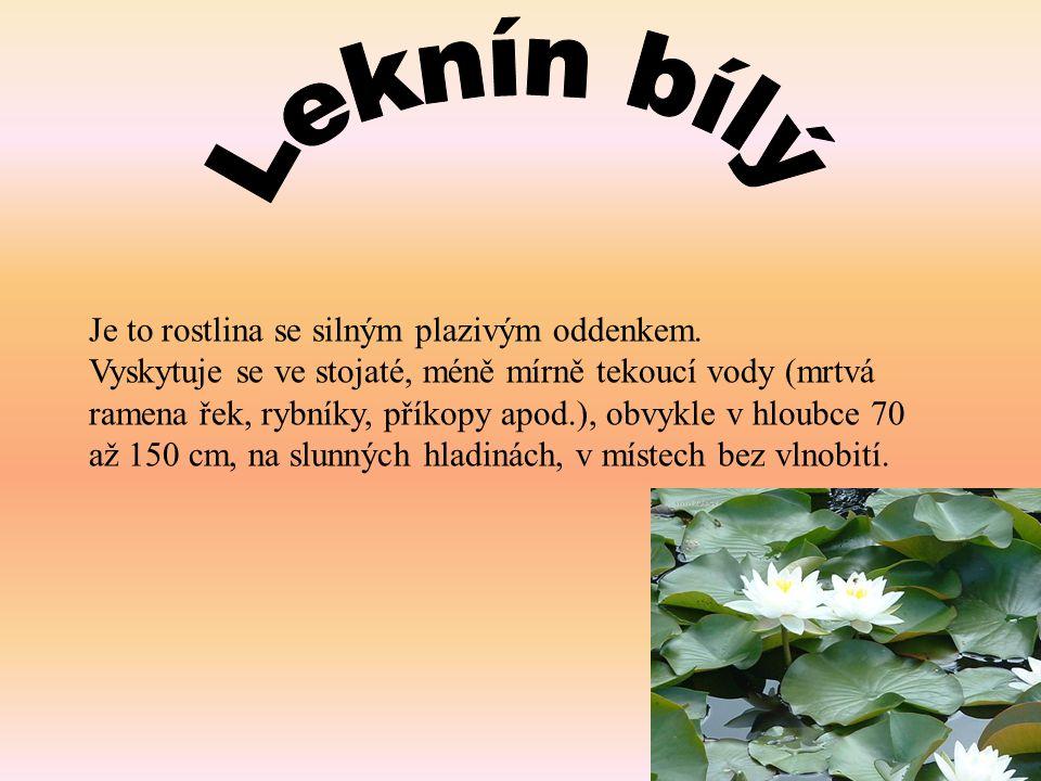 Leknín bílý Je to rostlina se silným plazivým oddenkem.