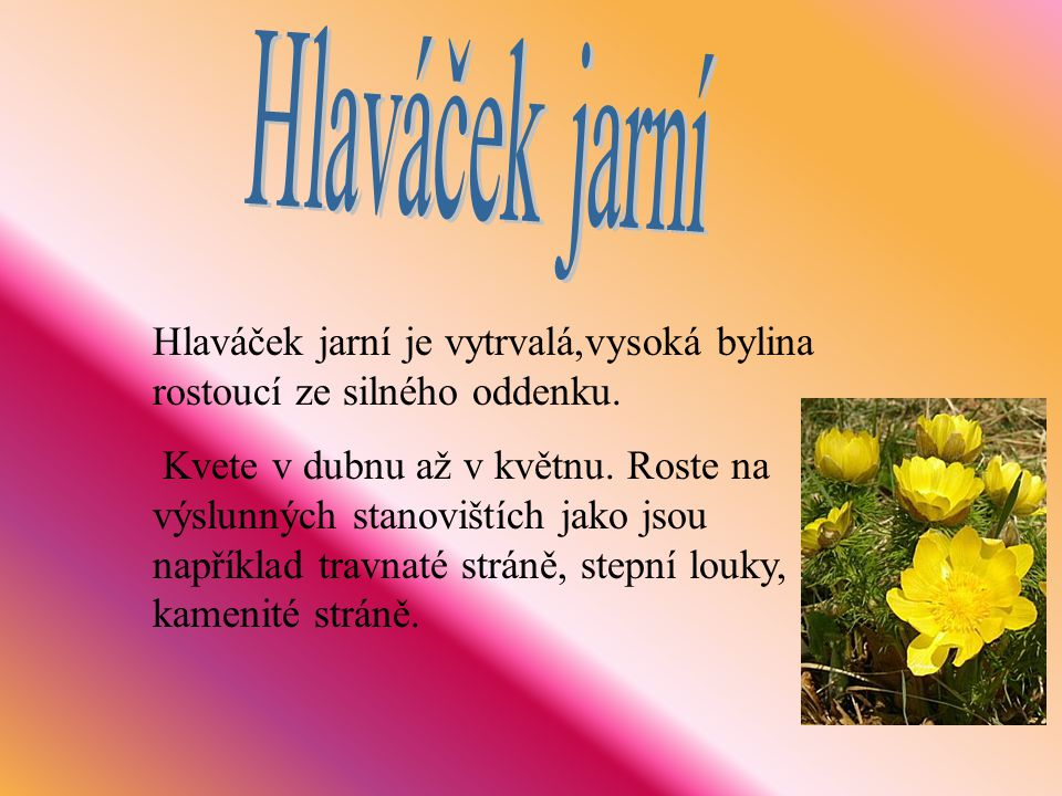 Hlaváček jarní Hlaváček jarní je vytrvalá,vysoká bylina rostoucí ze silného oddenku.