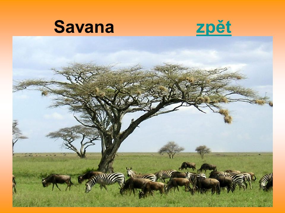 Savana zpět
