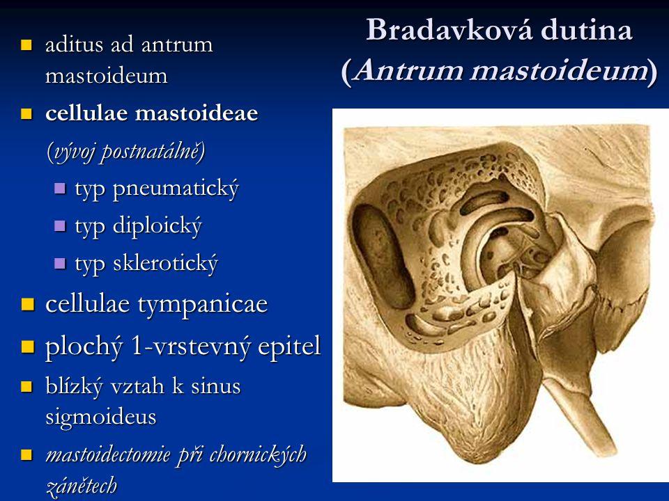 Bradavková dutina (Antrum mastoideum)