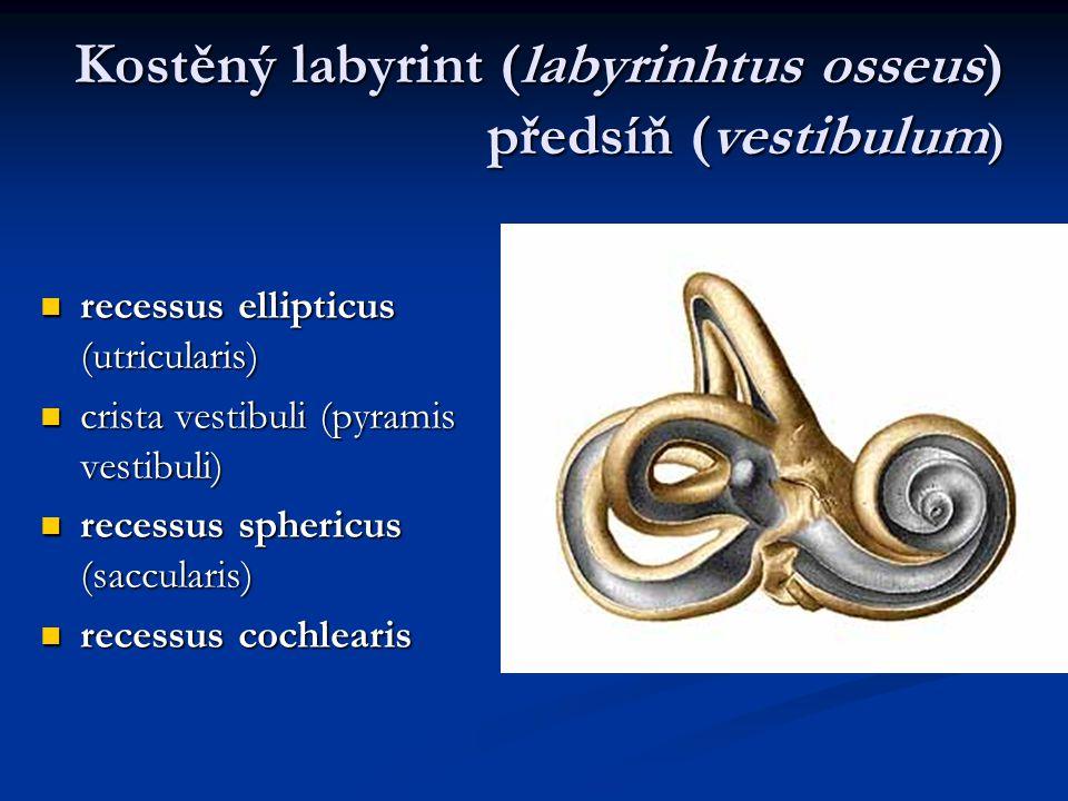 Kostěný labyrint (labyrinhtus osseus) předsíň (vestibulum)