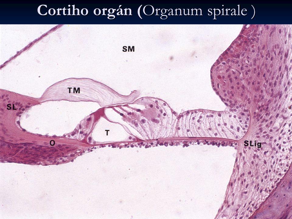 Cortiho orgán (Organum spirale )