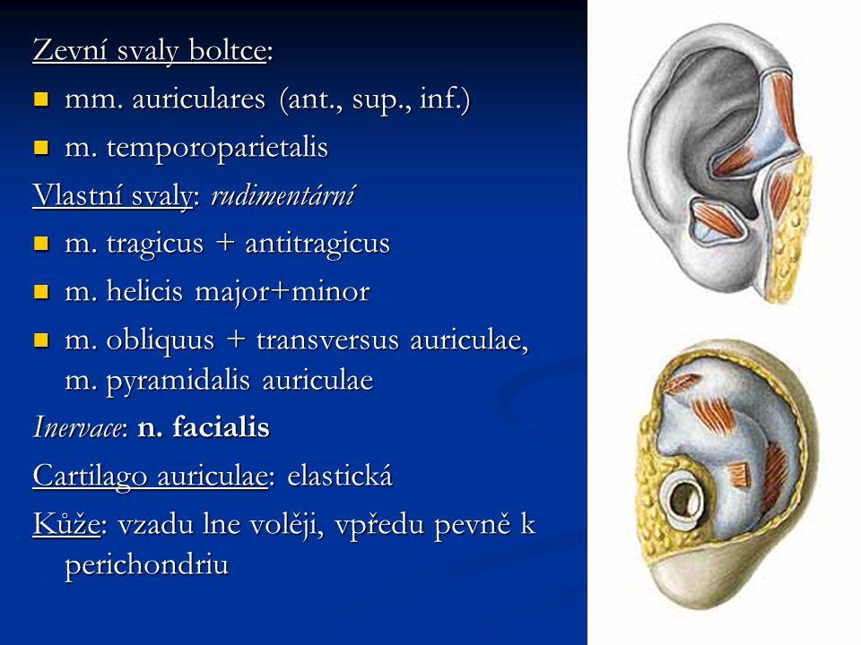 Zevní svaly boltce: mm. auriculares (ant., sup., inf.) m. temporoparietalis. Vlastní svaly: rudimentární.