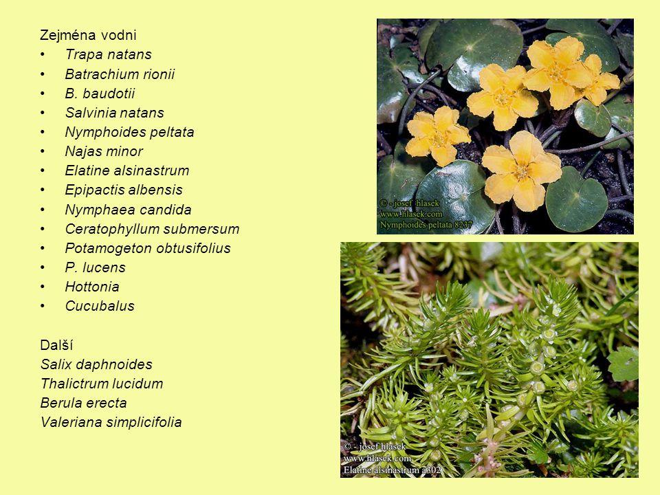 Významné druhy Zejména vodni Trapa natans Batrachium rionii