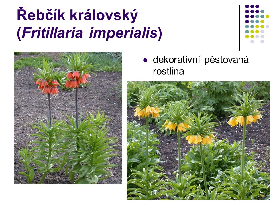 Řebčík královský (Fritillaria imperialis)