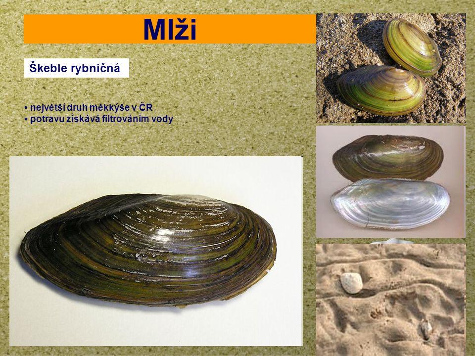 Mlži Škeble rybničná • největší druh měkkýše v ČR