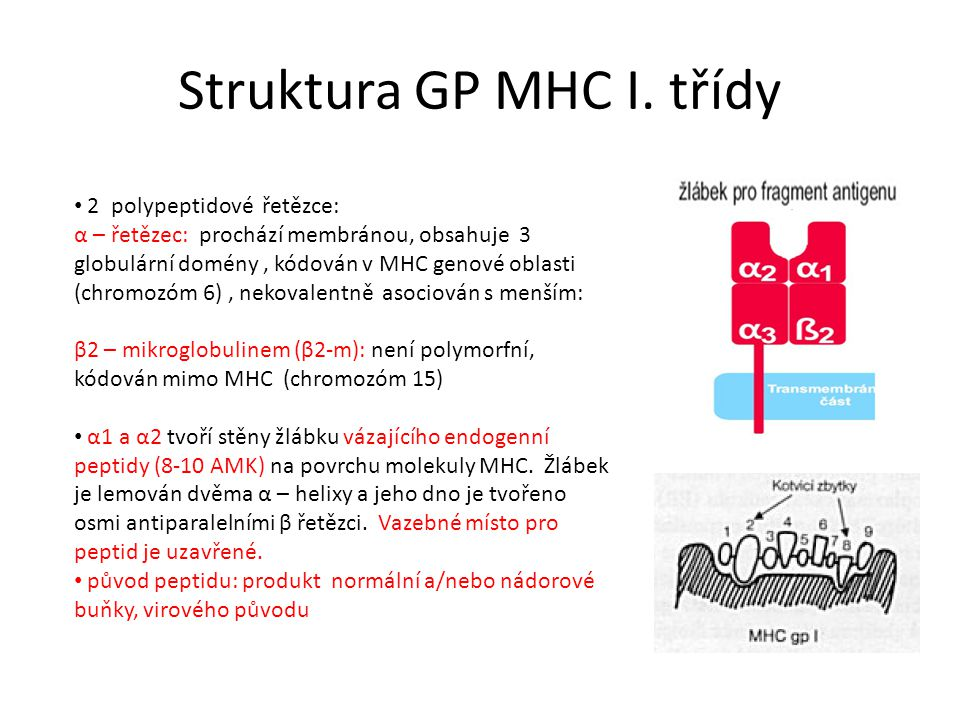 Struktura GP MHC I. třídy