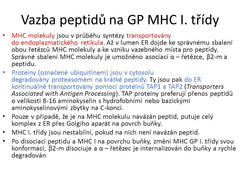 Vazba peptidů na GP MHC I. třídy