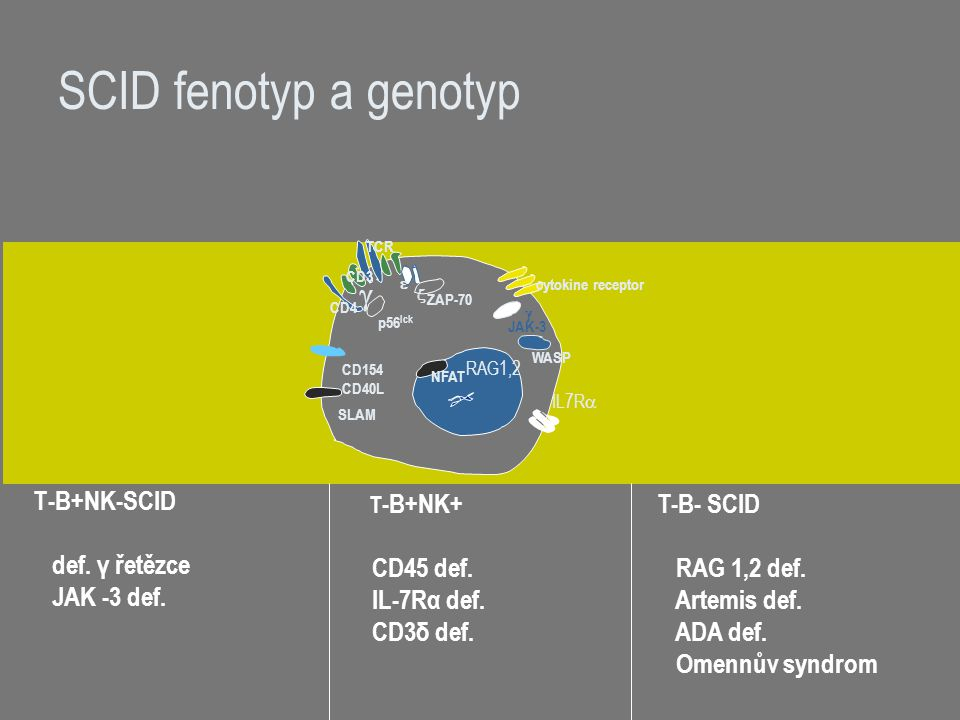 SCID fenotyp a genotyp g T-B+NK-SCID def. γ řetězce JAK -3 def.