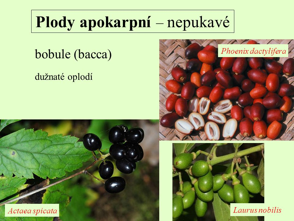 Plody apokarpní – nepukavé