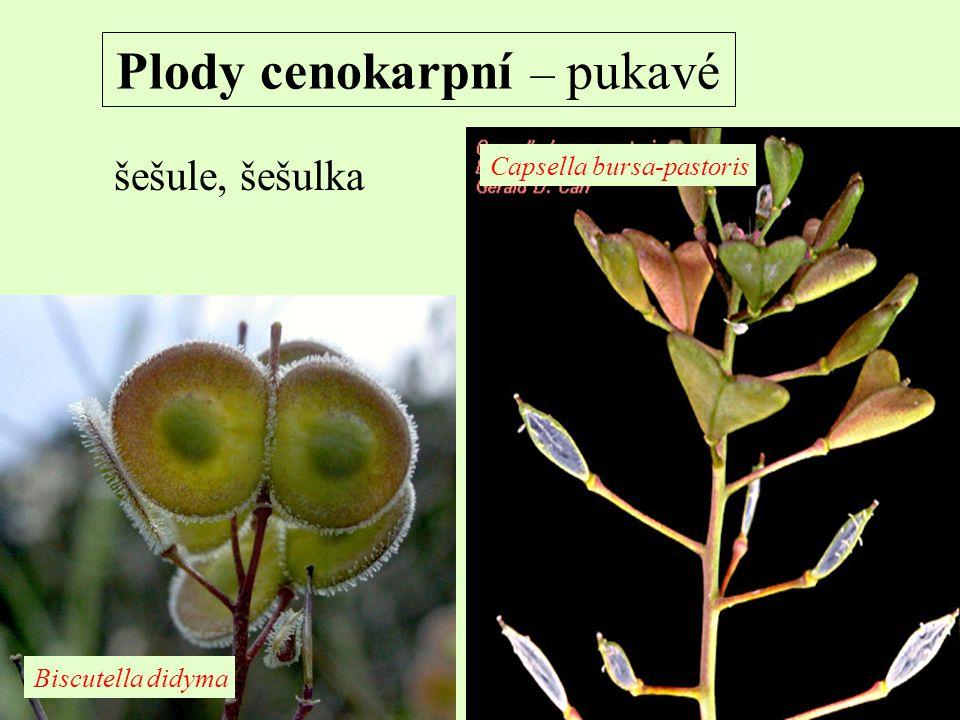 Plody cenokarpní – pukavé