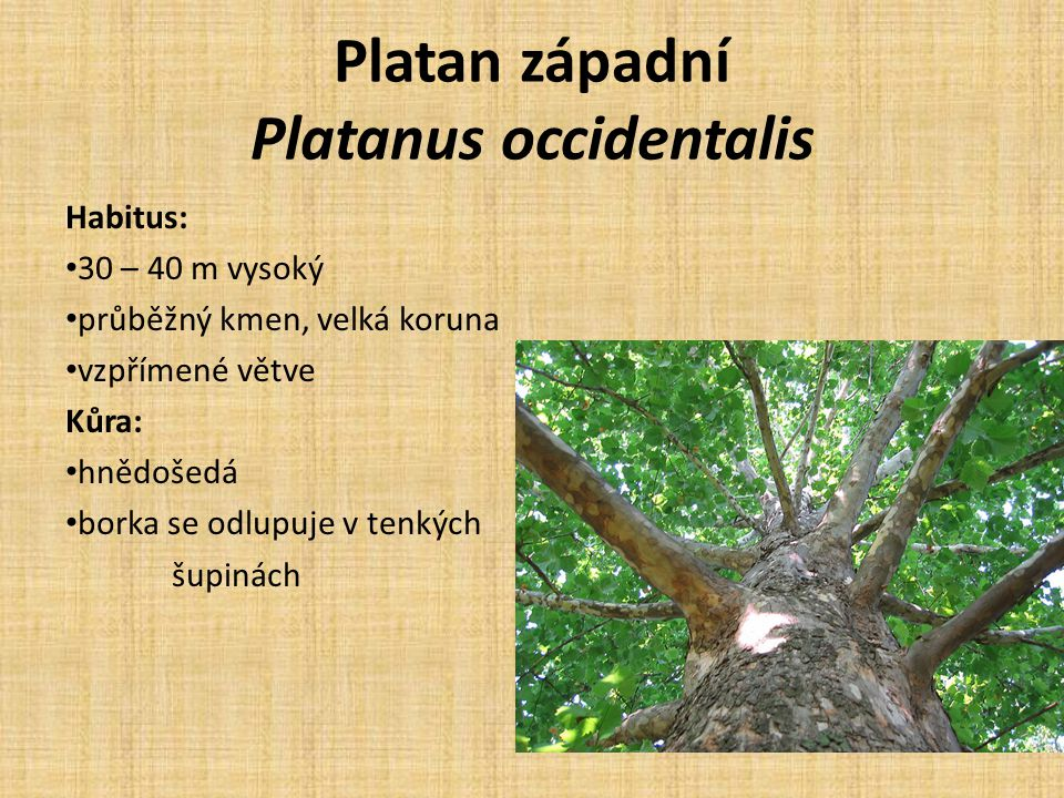 Platan západní Platanus occidentalis