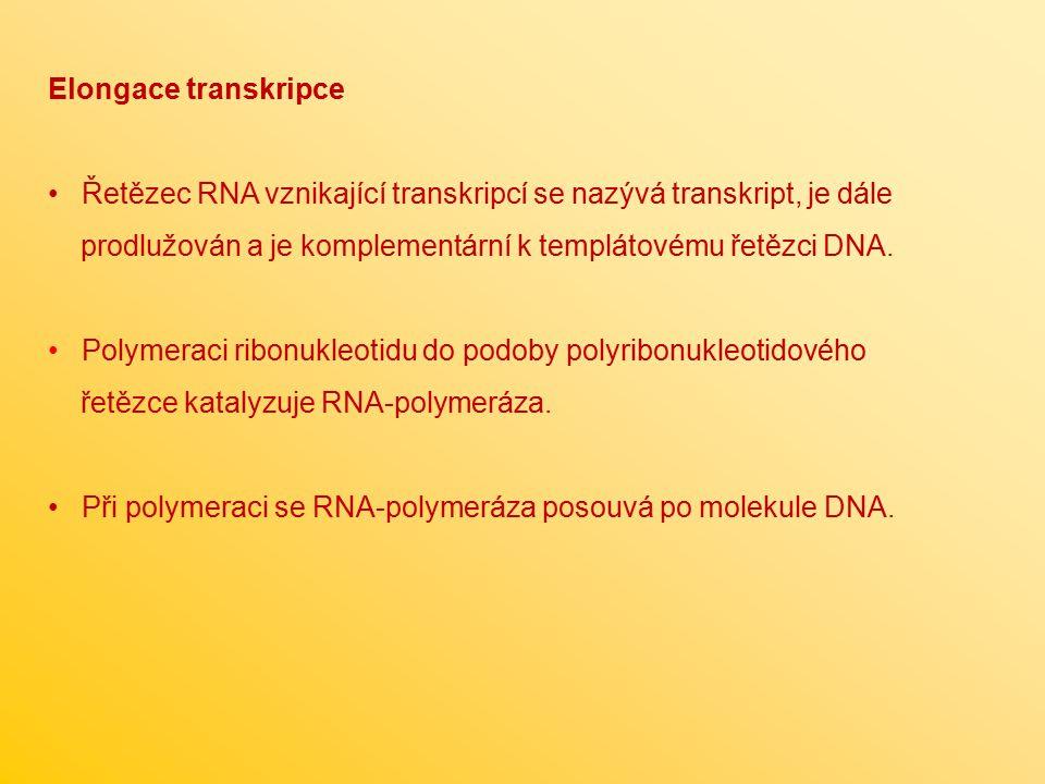 Elongace transkripce Řetězec RNA vznikající transkripcí se nazývá transkript, je dále. prodlužován a je komplementární k templátovému řetězci DNA.