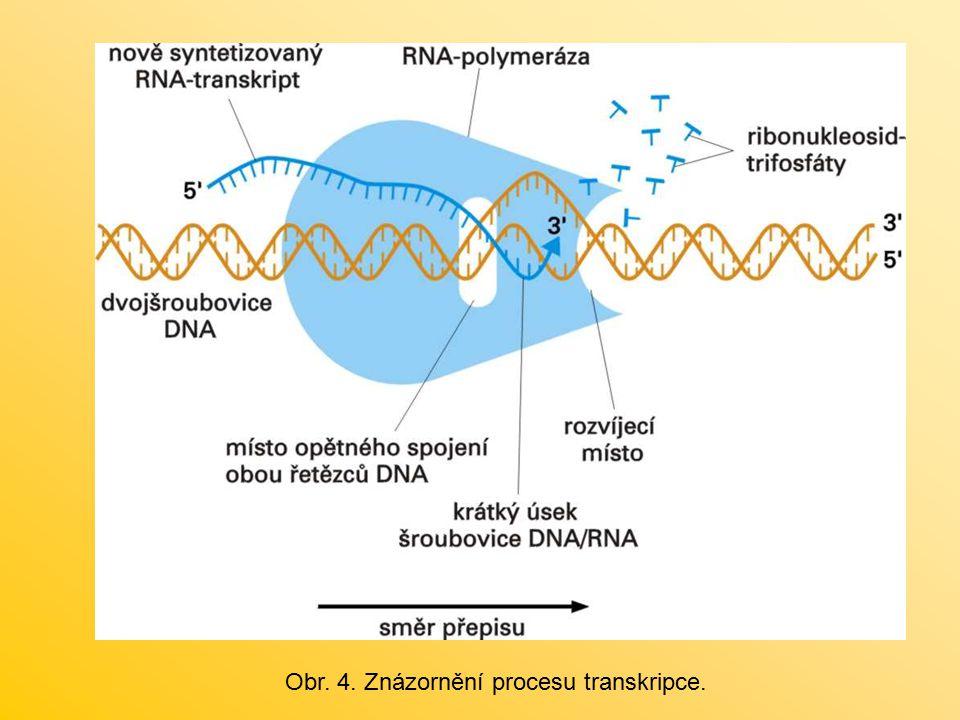 Obr. 4. Znázornění procesu transkripce.