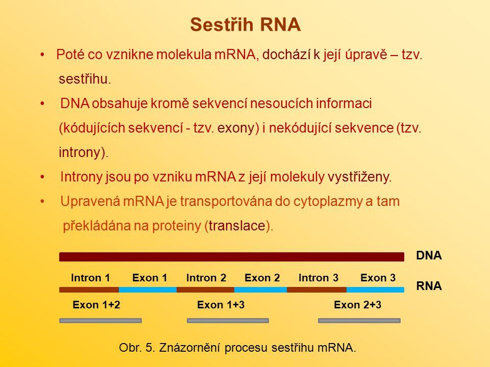 Sestřih RNA Poté co vznikne molekula mRNA, dochází k její úpravě – tzv. sestřihu. DNA obsahuje kromě sekvencí nesoucích informaci.