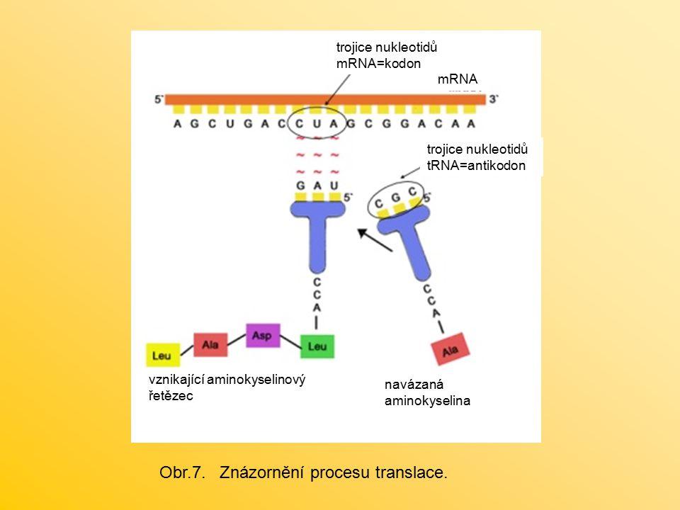 Obr.7. Znázornění procesu translace.