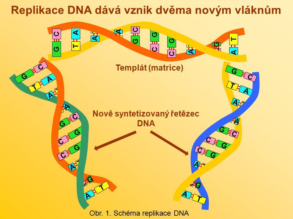 Replikace DNA dává vznik dvěma novým vláknům