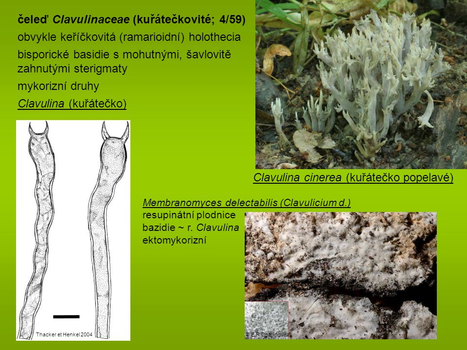 čeleď Clavulinaceae (kuřátečkovité; 4/59)