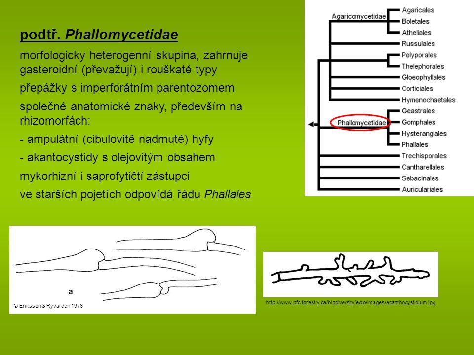 podtř. Phallomycetidae