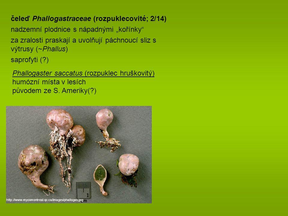 čeleď Phallogastraceae (rozpuklecovité; 2/14)