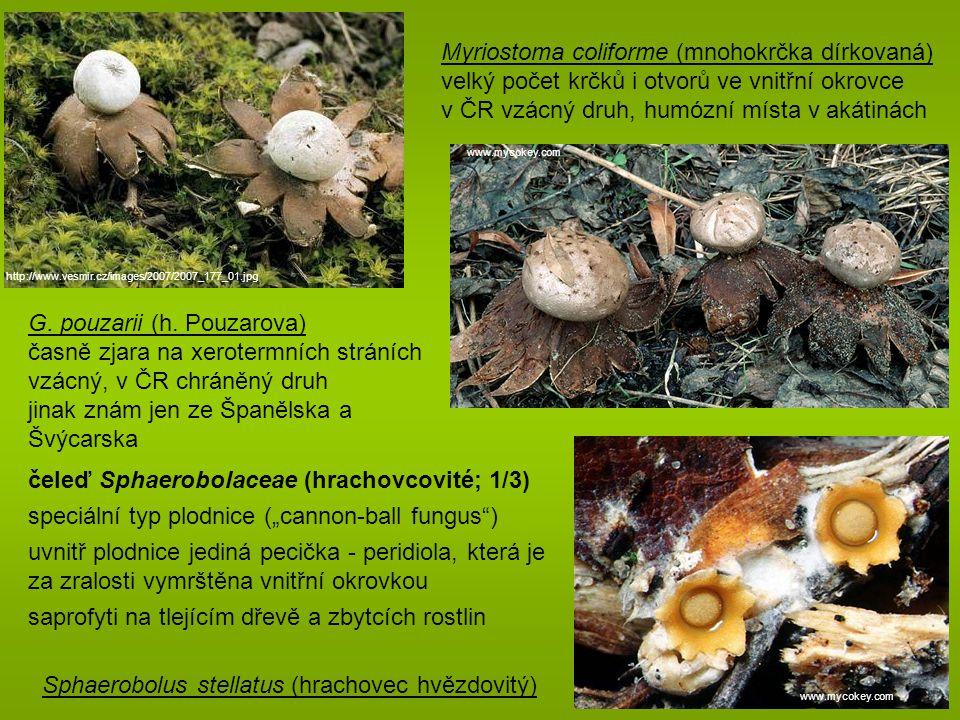 Myriostoma coliforme (mnohokrčka dírkovaná)