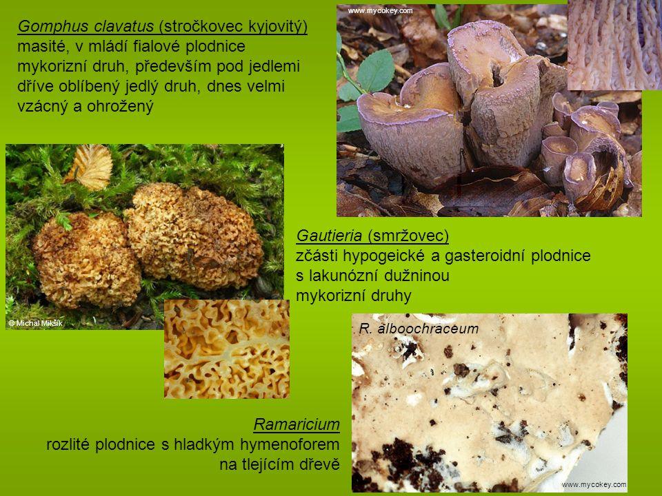 Gomphus clavatus (stročkovec kyjovitý)