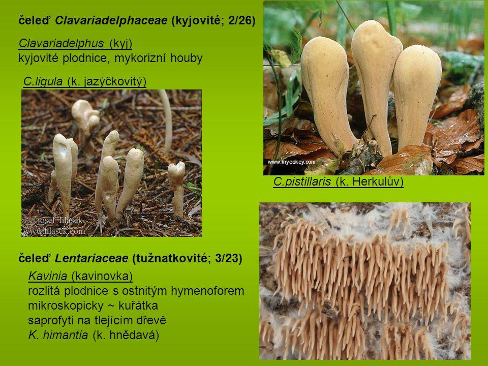 čeleď Clavariadelphaceae (kyjovité; 2/26)