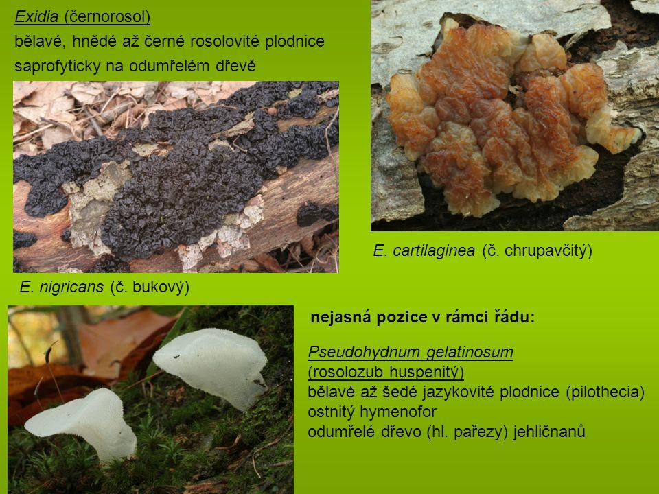 Exidia (černorosol) bělavé, hnědé až černé rosolovité plodnice. saprofyticky na odumřelém dřevě. E. cartilaginea (č. chrupavčitý)