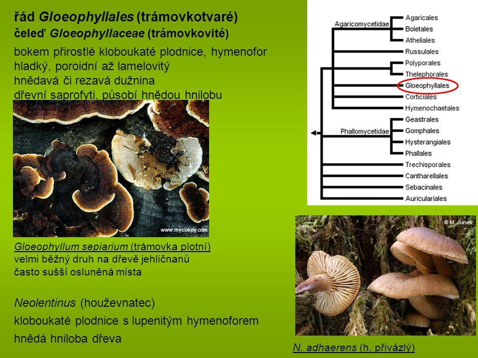 řád Gloeophyllales (trámovkotvaré)