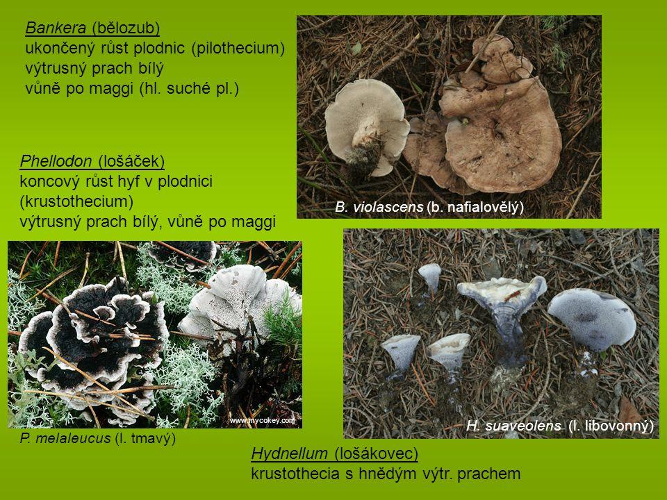 ukončený růst plodnic (pilothecium) výtrusný prach bílý