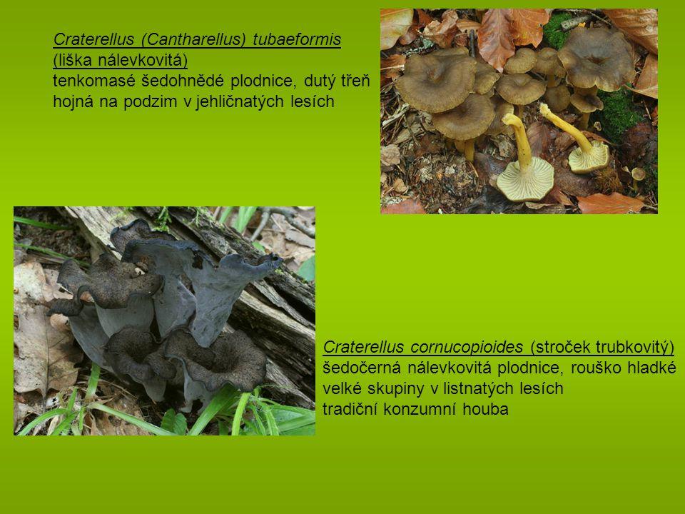 Craterellus (Cantharellus) tubaeformis (liška nálevkovitá)