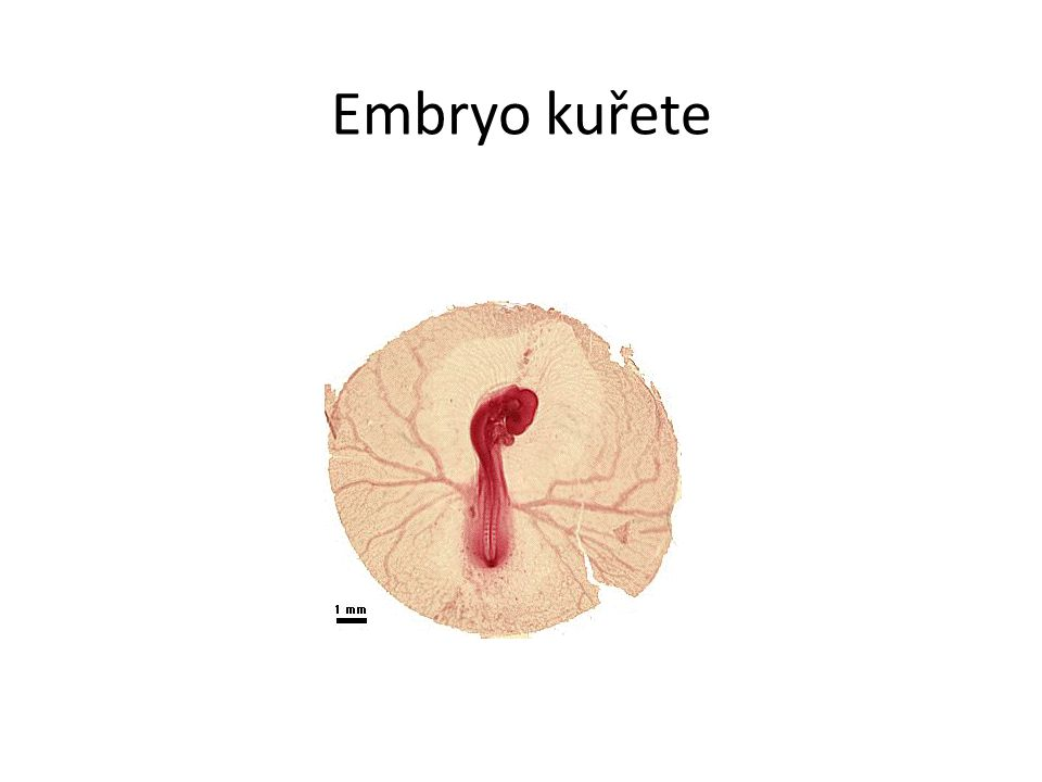 Embryo kuřete