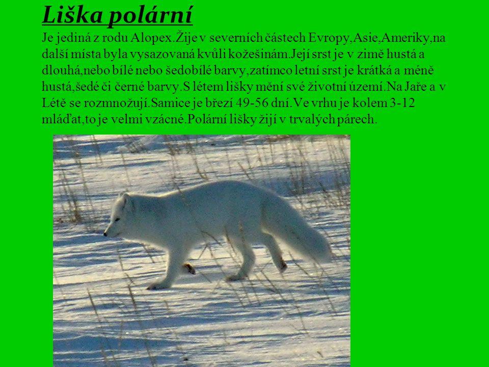 Liška polární Je jediná z rodu Alopex