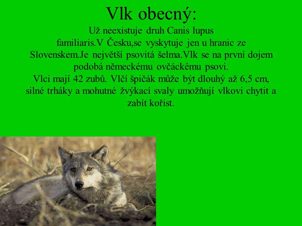 Vlk obecný: Už neexistuje druh Canis lupus familiaris