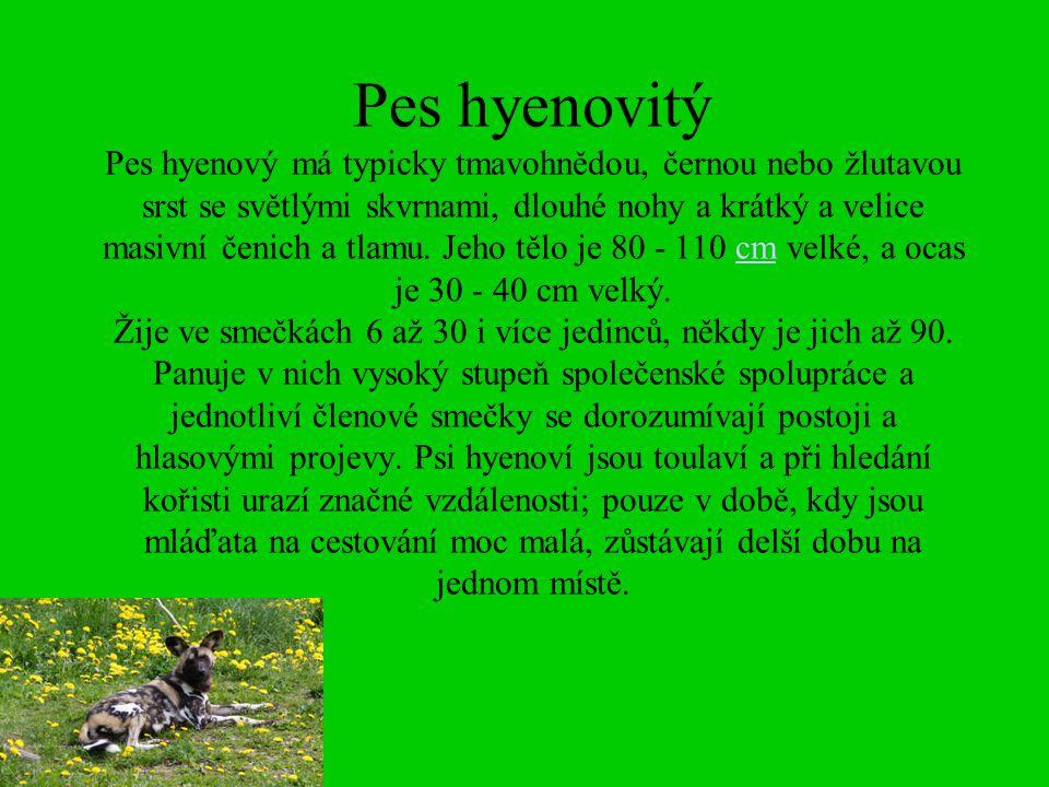 Pes hyenovitý Pes hyenový má typicky tmavohnědou, černou nebo žlutavou srst se světlými skvrnami, dlouhé nohy a krátký a velice masivní čenich a tlamu.