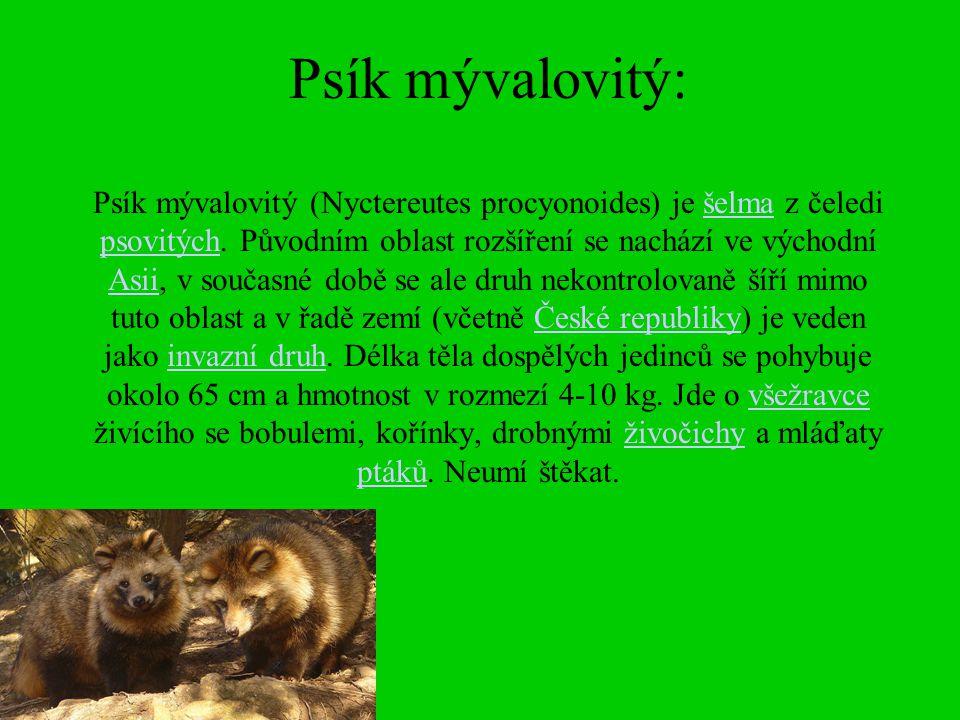 Psík mývalovitý: Psík mývalovitý (Nyctereutes procyonoides) je šelma z čeledi psovitých.