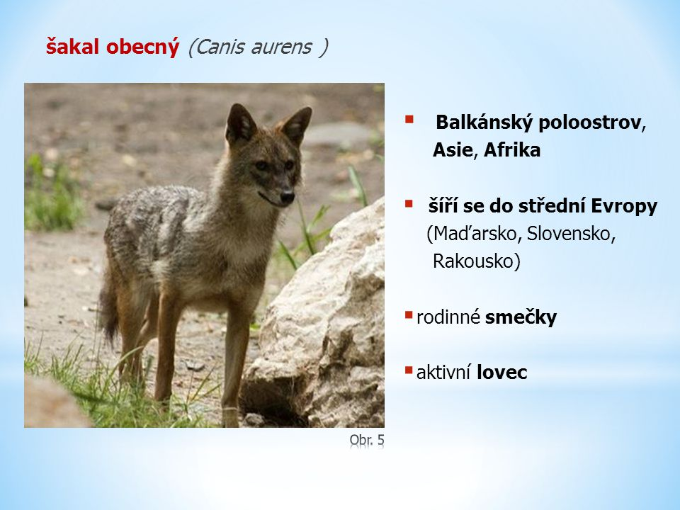 šakal obecný (Canis aurens )
