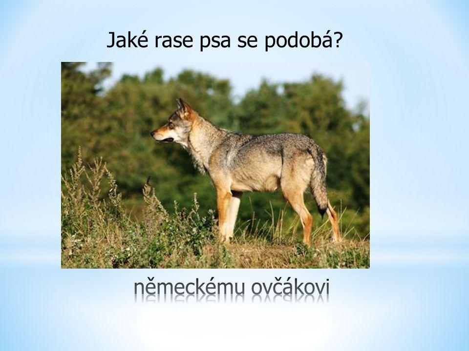Jaké rase psa se podobá německému ovčákovi