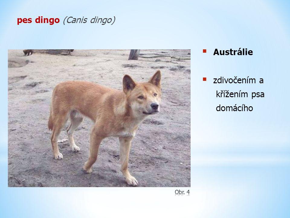 pes dingo (Canis dingo)