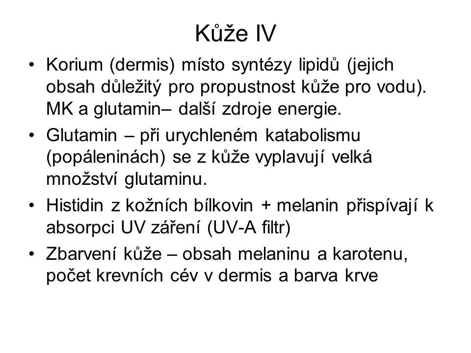Kůže IV Korium (dermis) místo syntézy lipidů (jejich obsah důležitý pro propustnost kůže pro vodu). MK a glutamin– další zdroje energie.