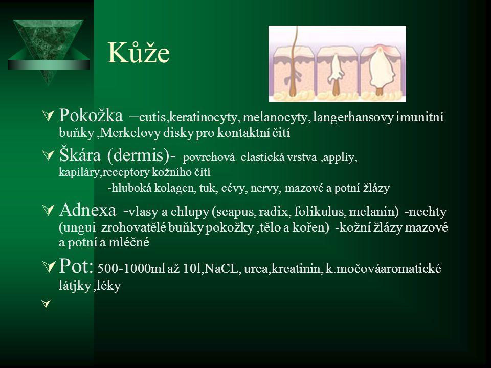 Kůže Pokožka –cutis,keratinocyty, melanocyty, langerhansovy imunitní buňky ,Merkelovy disky pro kontaktní čití.