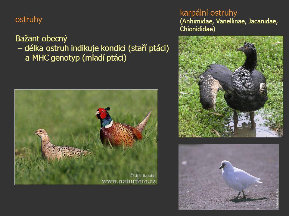 – délka ostruh indikuje kondici (staří ptáci)