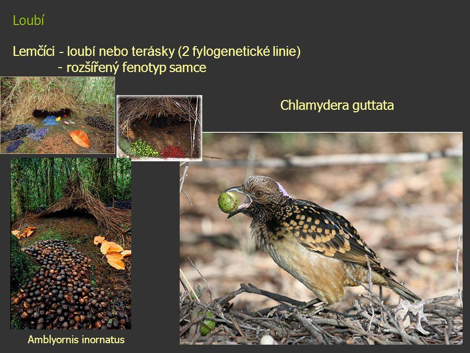 Lemčíci - loubí nebo terásky (2 fylogenetické linie)