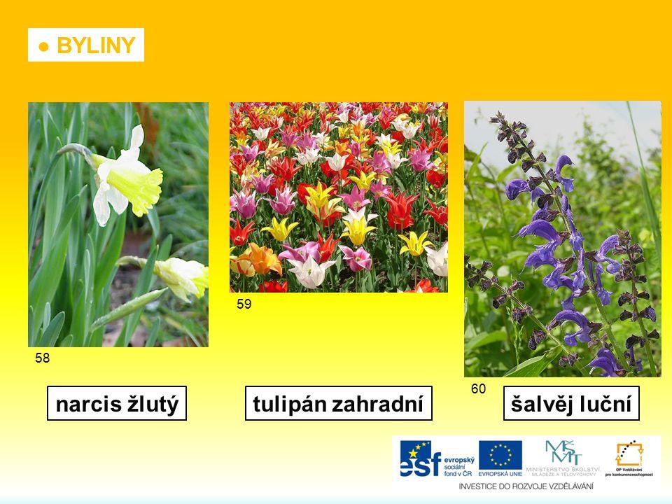 ● BYLINY narcis žlutý tulipán zahradní šalvěj luční